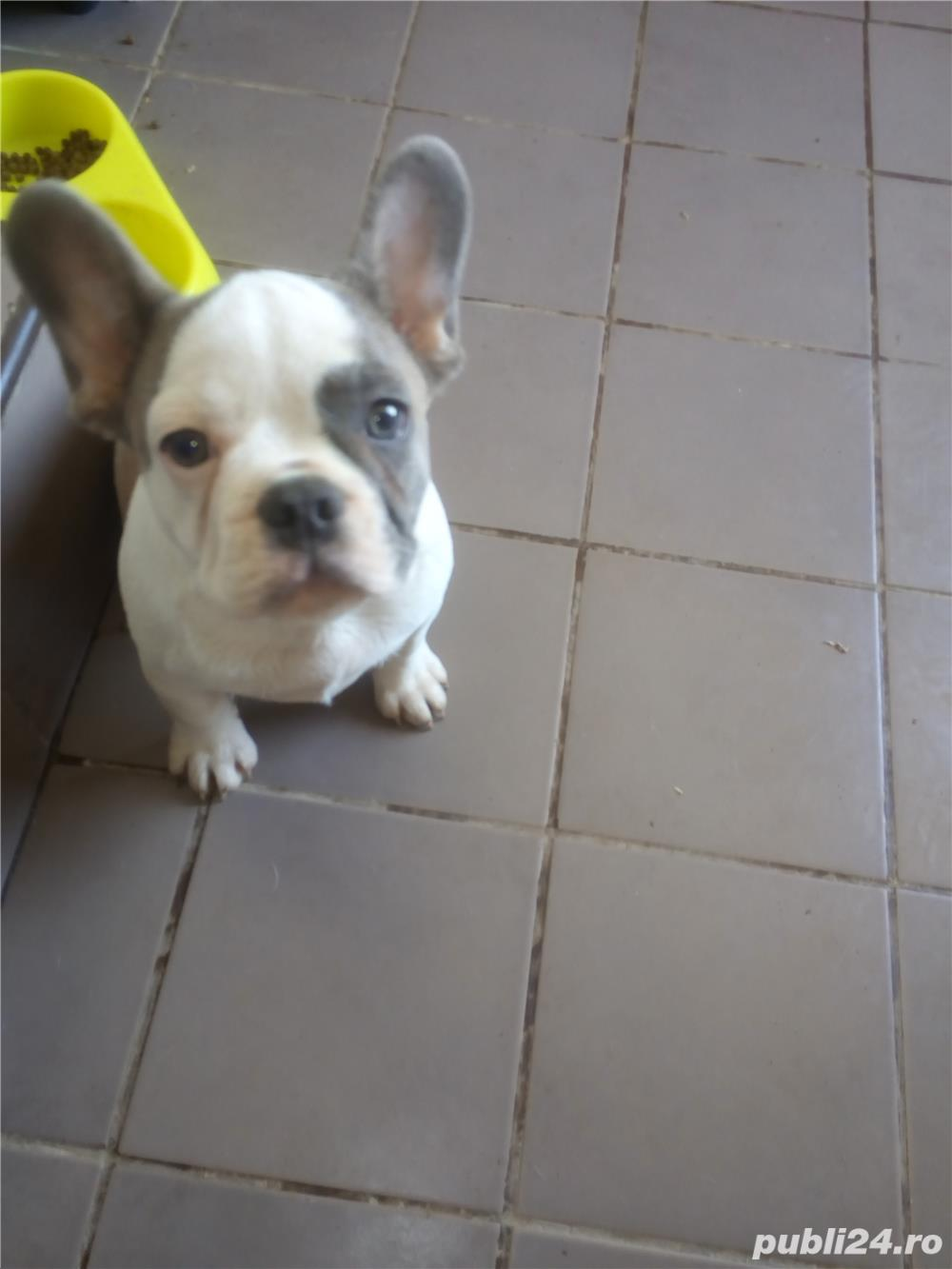 vand pui bulldog francez