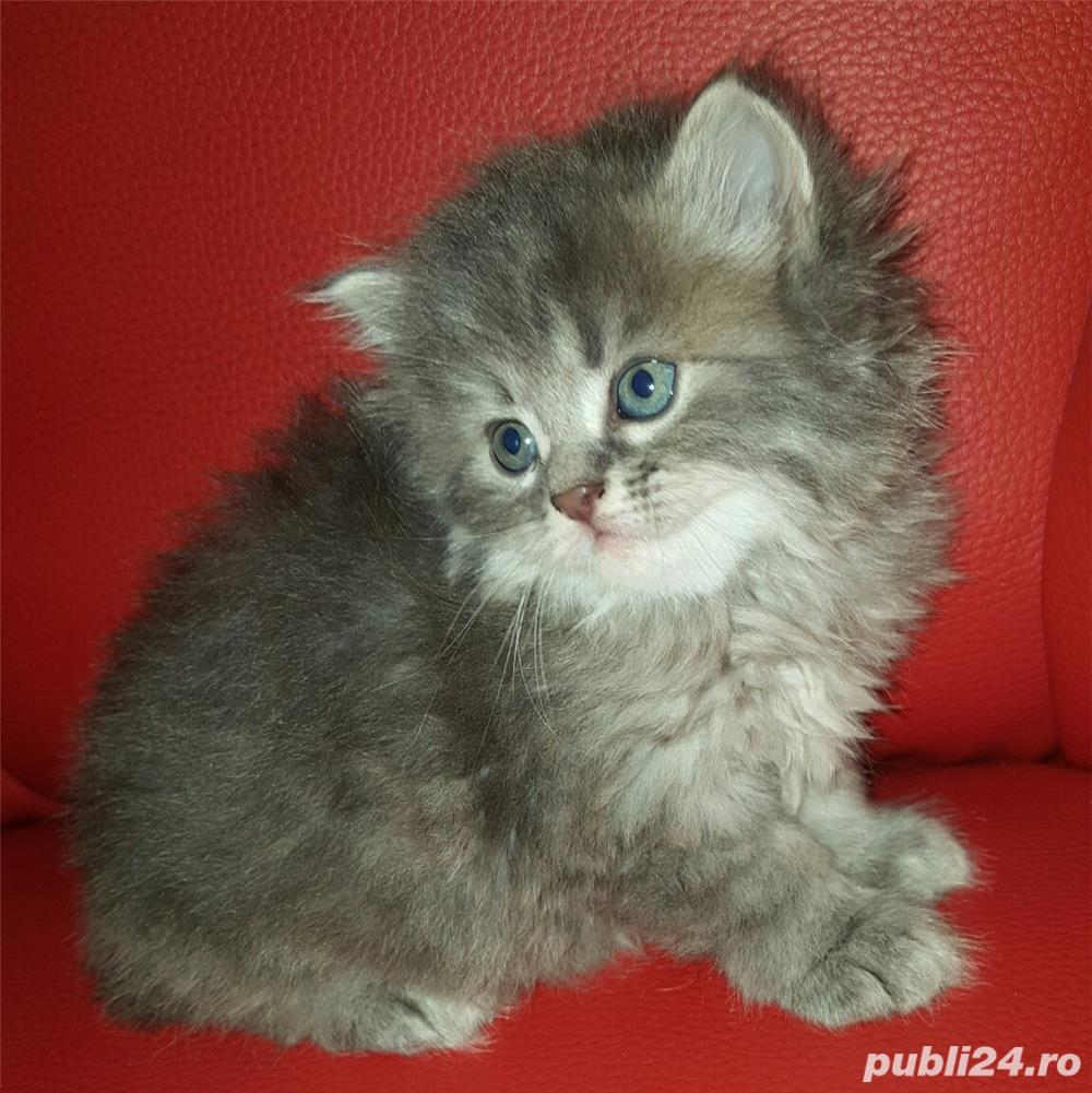 vand pui pisica norvegiana de padure de calitate crescuti in casa