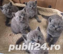 British shorthair