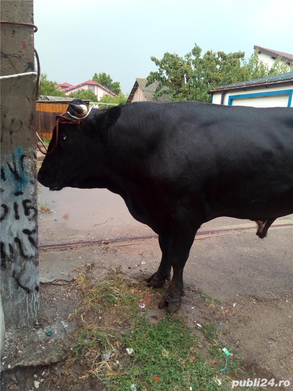 Achizitionez bovine