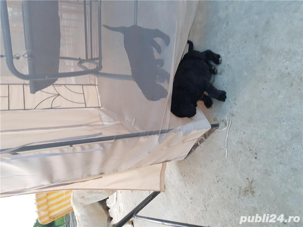 Labrador de vanzare