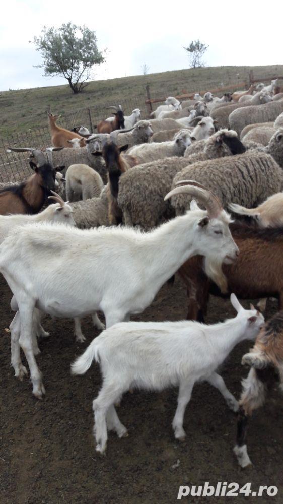 Vind 180 capre