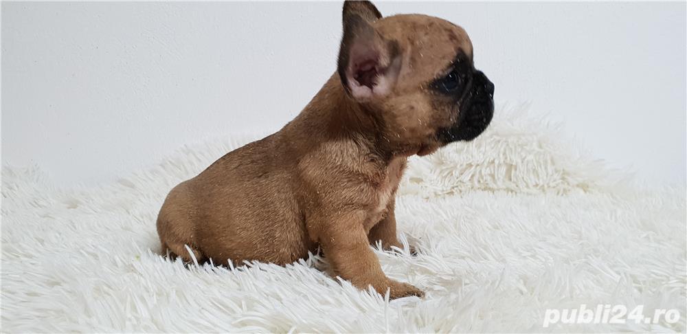 Bulldog francez baietel si femela