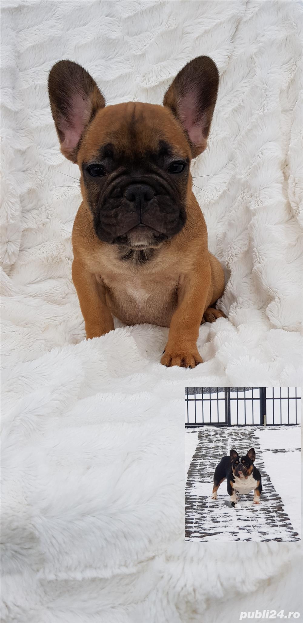 Femela bulldog francez!
