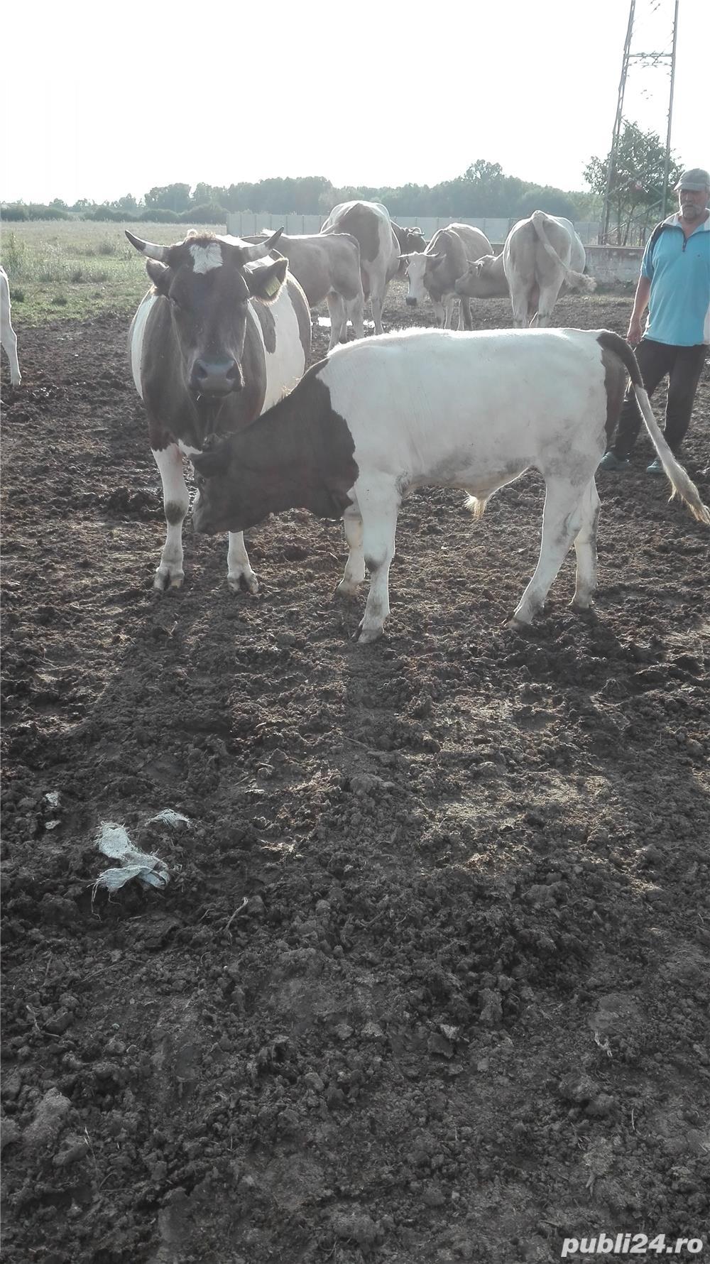 Vand vaca cu vitel