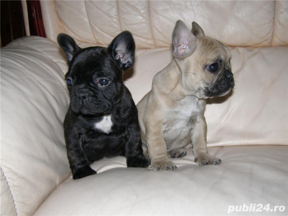 Catei Bulldog Francez- Disponibili acum cu livrare in tara!