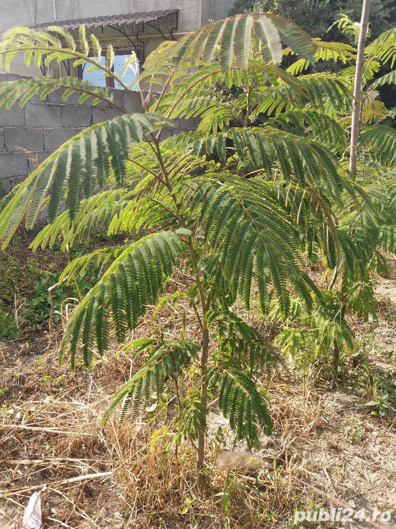 Arbore de matase (albizia) 1.8-2 m