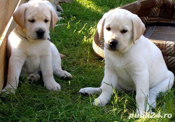 Labrador Retriever auriu, masculi si femele