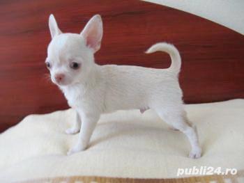 Chihuahua teacup, calitate deosebita