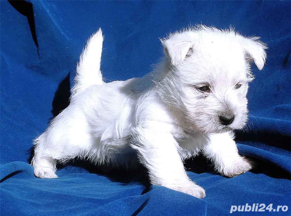 Westie, albi imaculati, talie mica, nu lasa par
