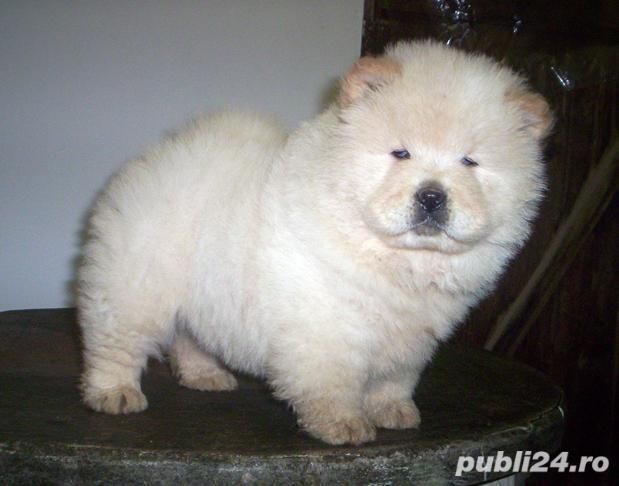 Vand chow chow!!