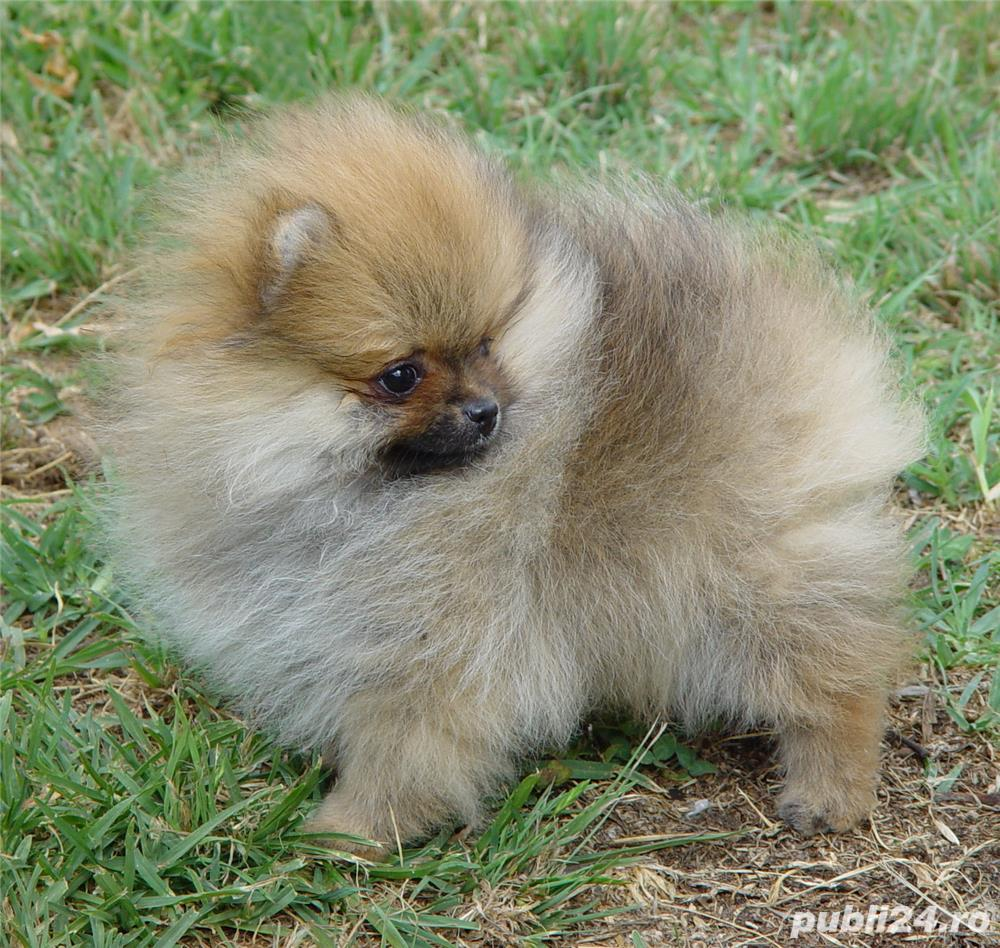 Vand catei Pomeranian toy si in varianta Boo