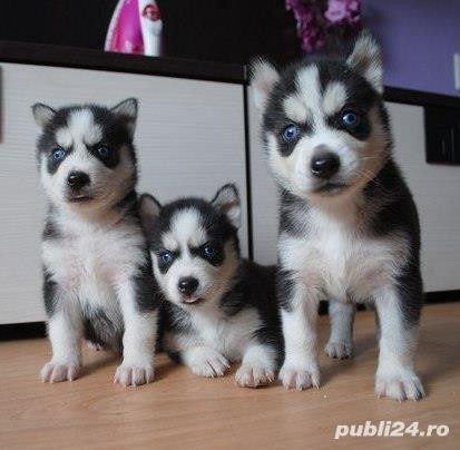 Husky Siberian, ochi albastri, rasa pura, masculi si femele