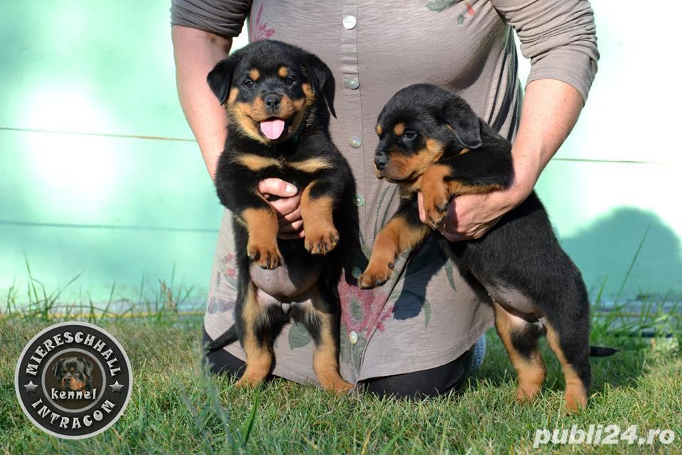 Rottweiler pui cu pedigree de vanzare