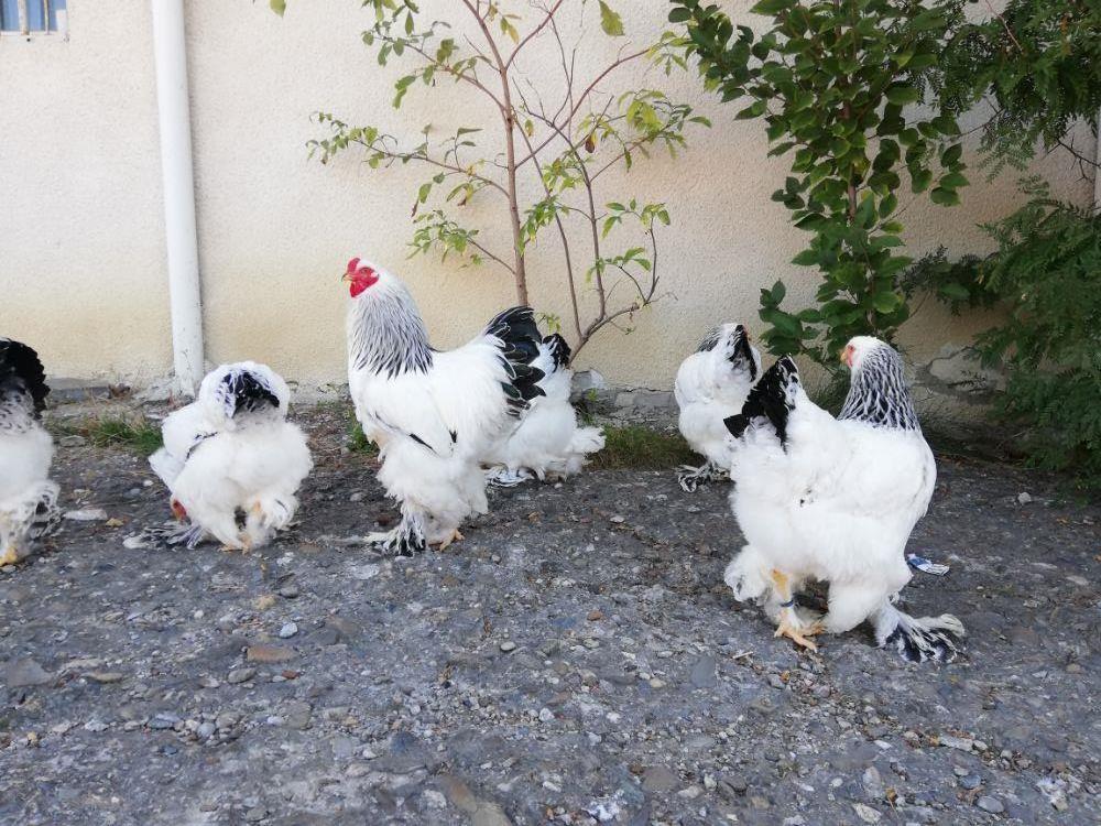 Găini brahma herminat deschis