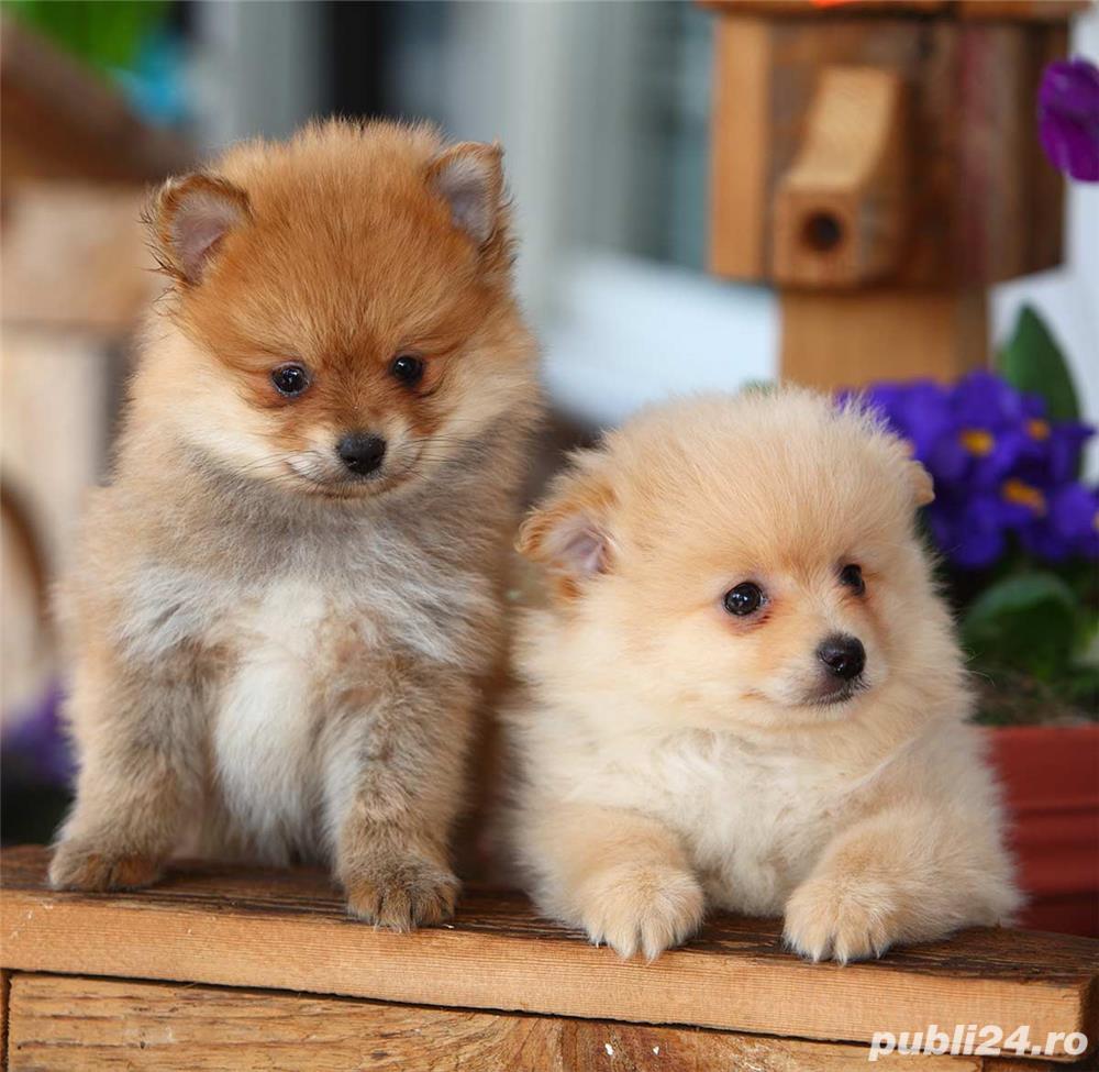 Disponibil pui Pomeranian spitz german (si in varianta Boo)
