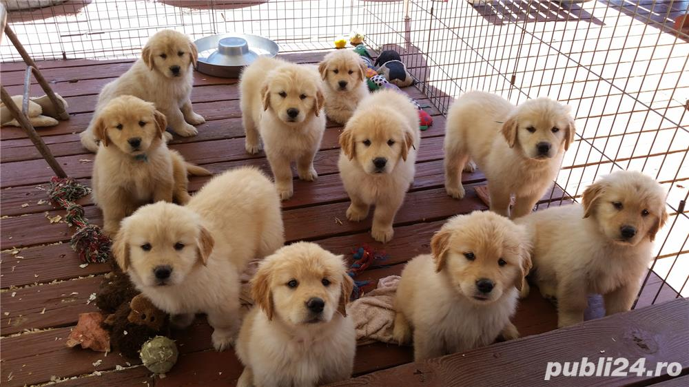 Disponibil catelusi Golden Retriever