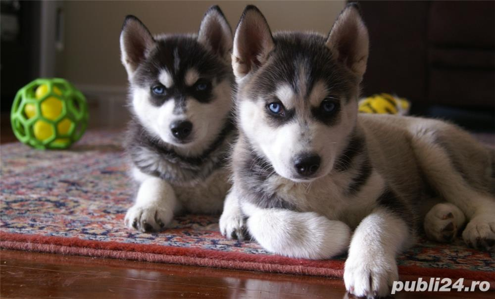 Pui disponibili Husky Siberian