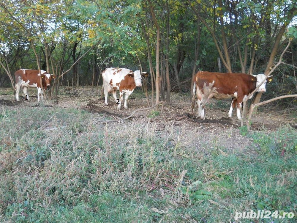 Vand vaci si vitei