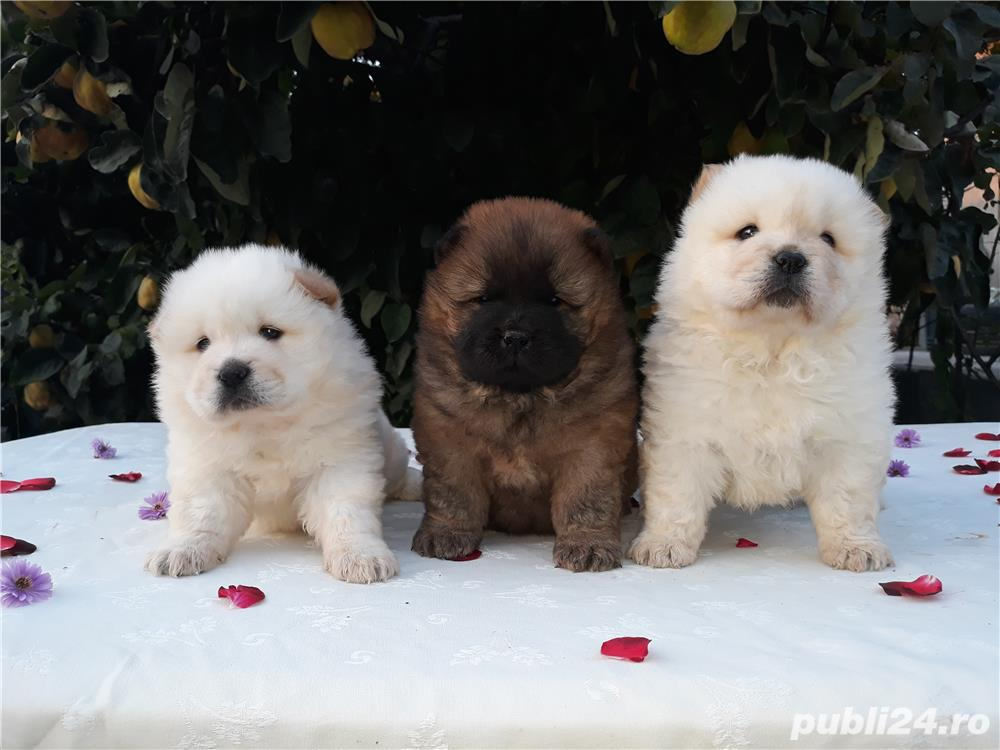 Pui chow-chow OFERTA