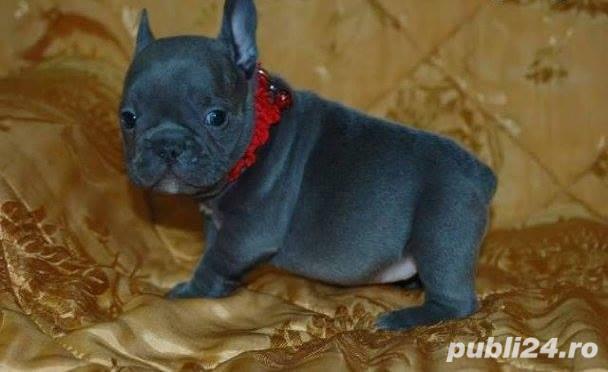 Pui femele si masculi  de bulldog-buldog francez blue,gri,albastru