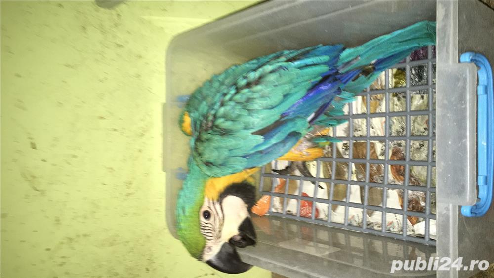 Vand pui papagali ara