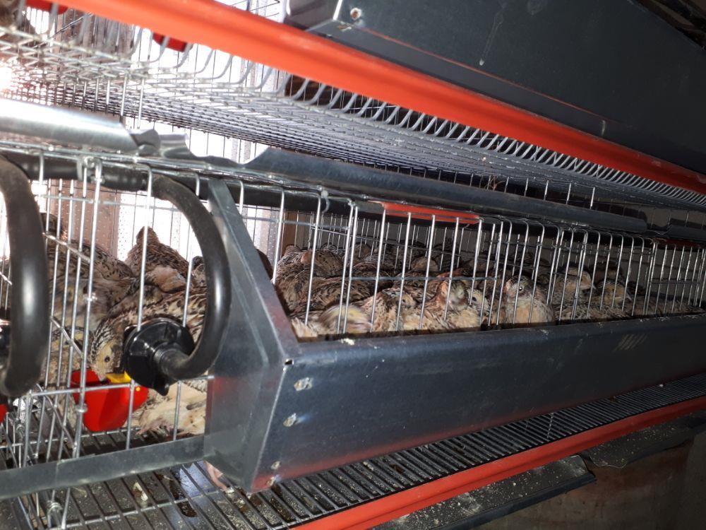 Oua de prepelite pentru consum si pentru incubație