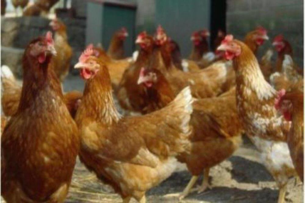 Găini de ouă Isa Brown