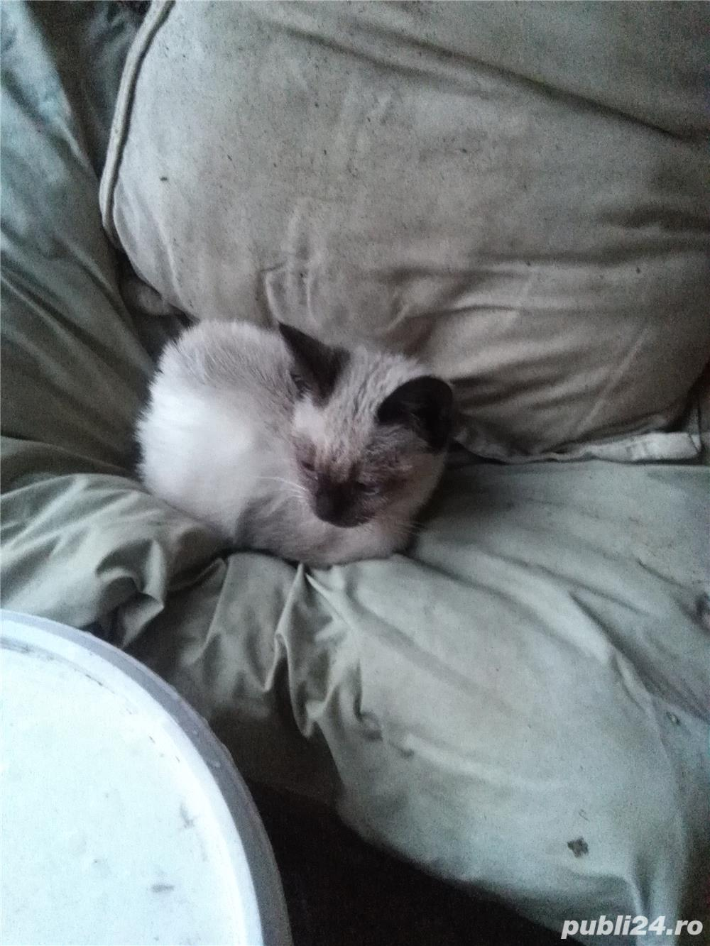 vand urgent pisicuta mica