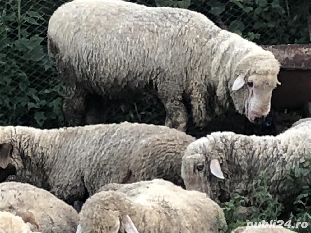 Vând oi si capre( 5 milioane bucata)