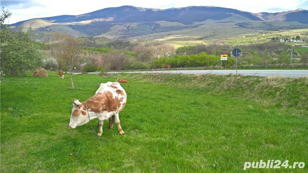 Vaca cu lapte gestanta de vanzare Domasnea Caras Severin