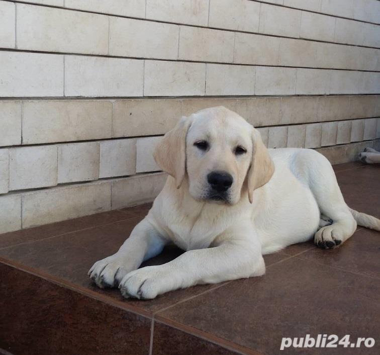 Labrador Retriever Auriu, 8 saptamani