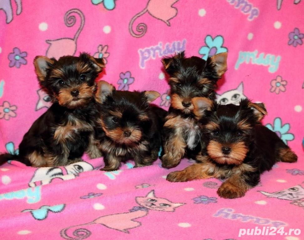 Yorkshire Terrier Mini, baietei si fetite
