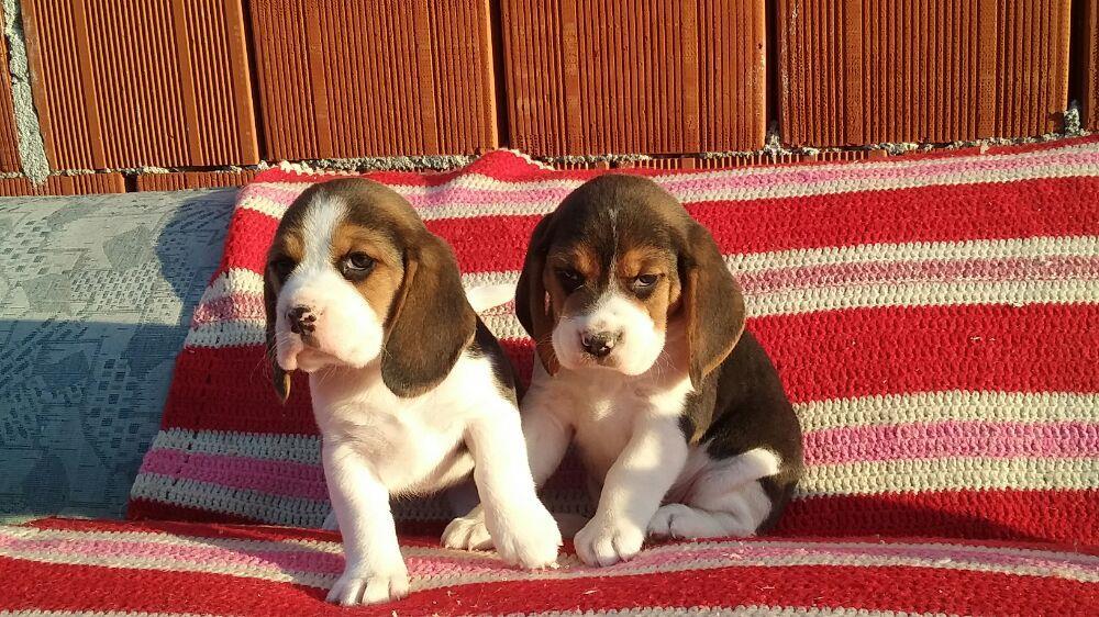 Vand catei Beagle tricolori