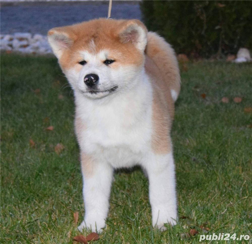 Akita inu pedigree A