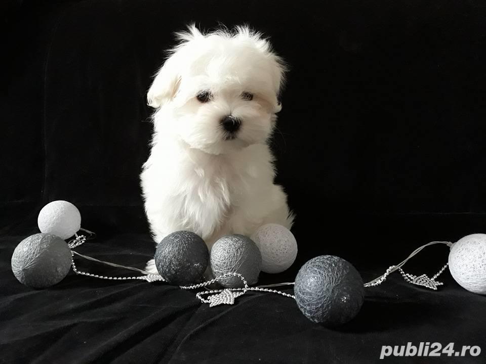 Bichon Maltez albi imaculati, talie mini, 2 luni