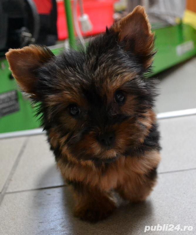 yorkshire terrier cu pedigree