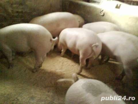 Vand porci crescuti in propria gospodarie . Porci de carne la alegere :