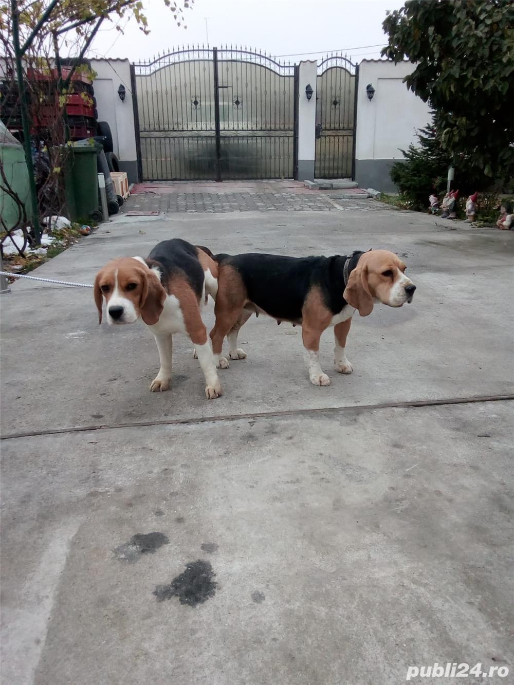 Monta Beagle cu Pedigree