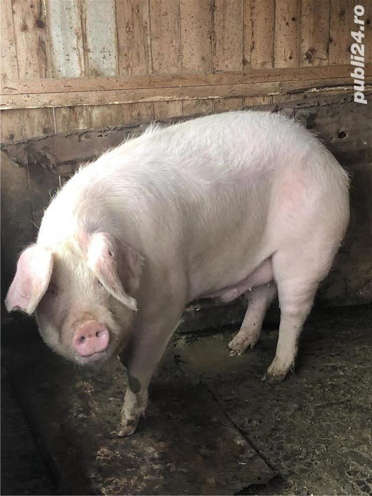 Vand porc .