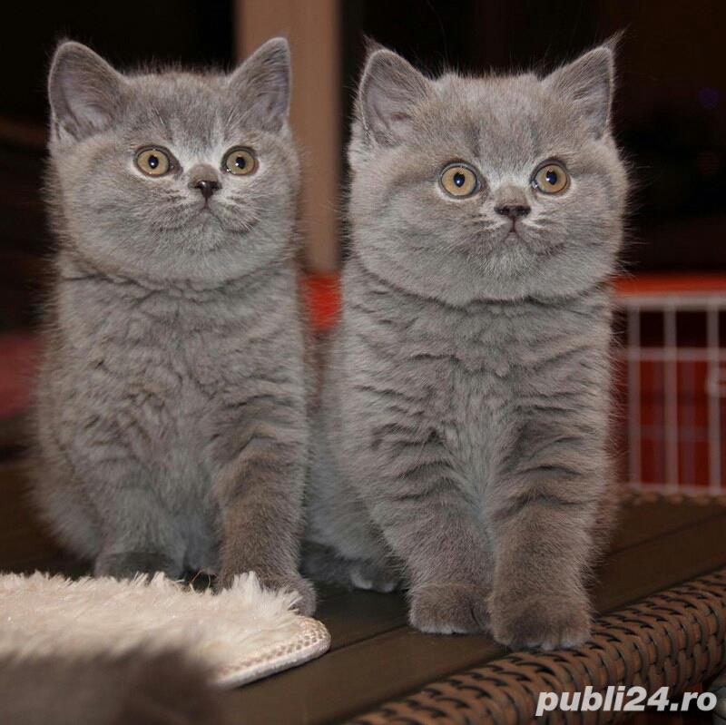 Fetiță și băiețel British shorthair blue disponibili acum! Rasă pură 100%