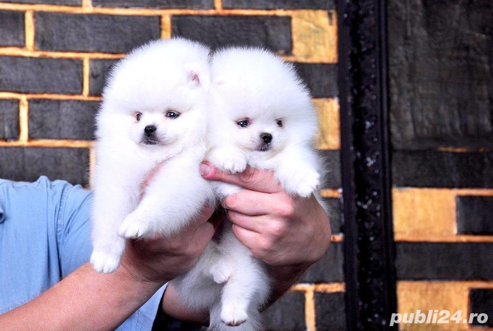 Pomeranian talie Toy, foarte pufosi, rasa pura