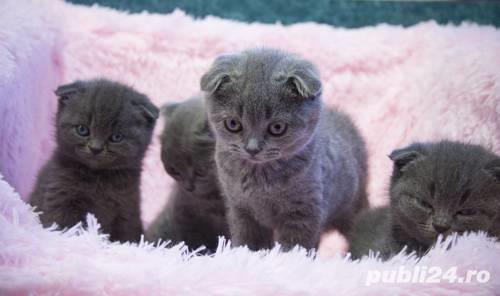 Pisici Scottish Fold, urechi pliate, par scurt, usor de intretinut