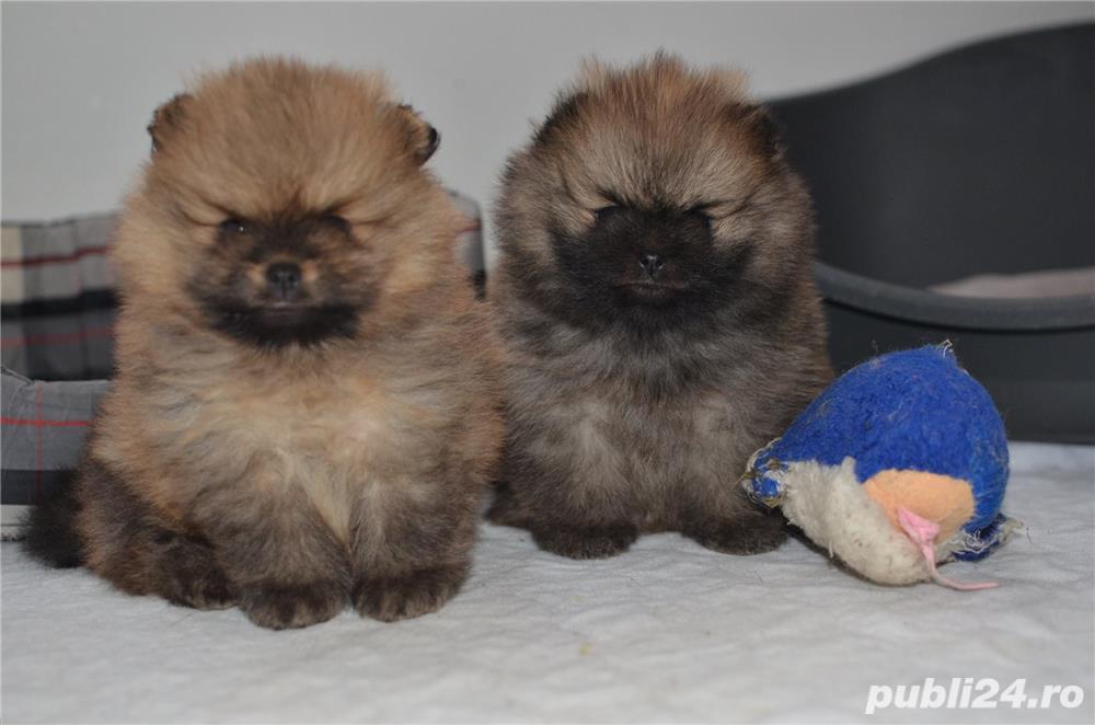 Pomeranian mini, maro, foarte pufosi