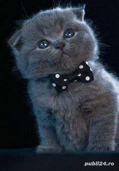 scottish fold blue crem