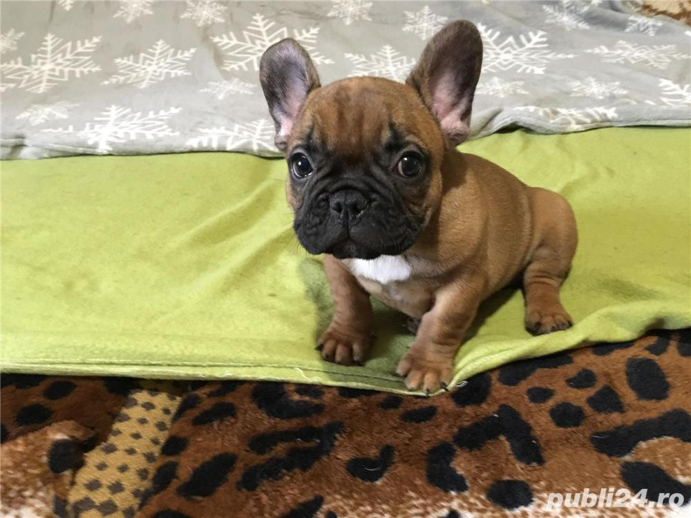 bulldog francez super oferta !!!