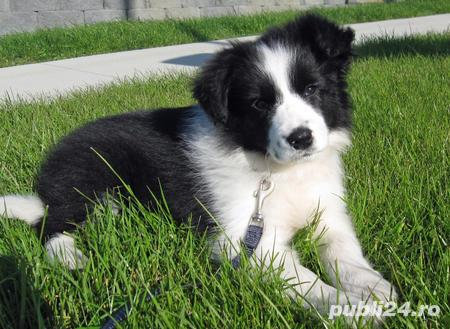 Border Collie, catei varsta 2 luni