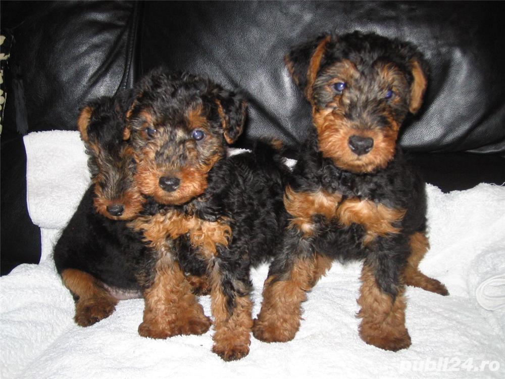 Welsh terrier, pui varsta 2 luni