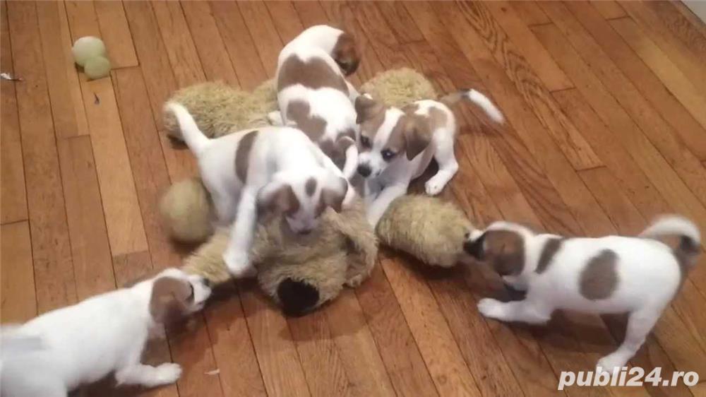 Jack Russell terrier, catei varsta 2 luni