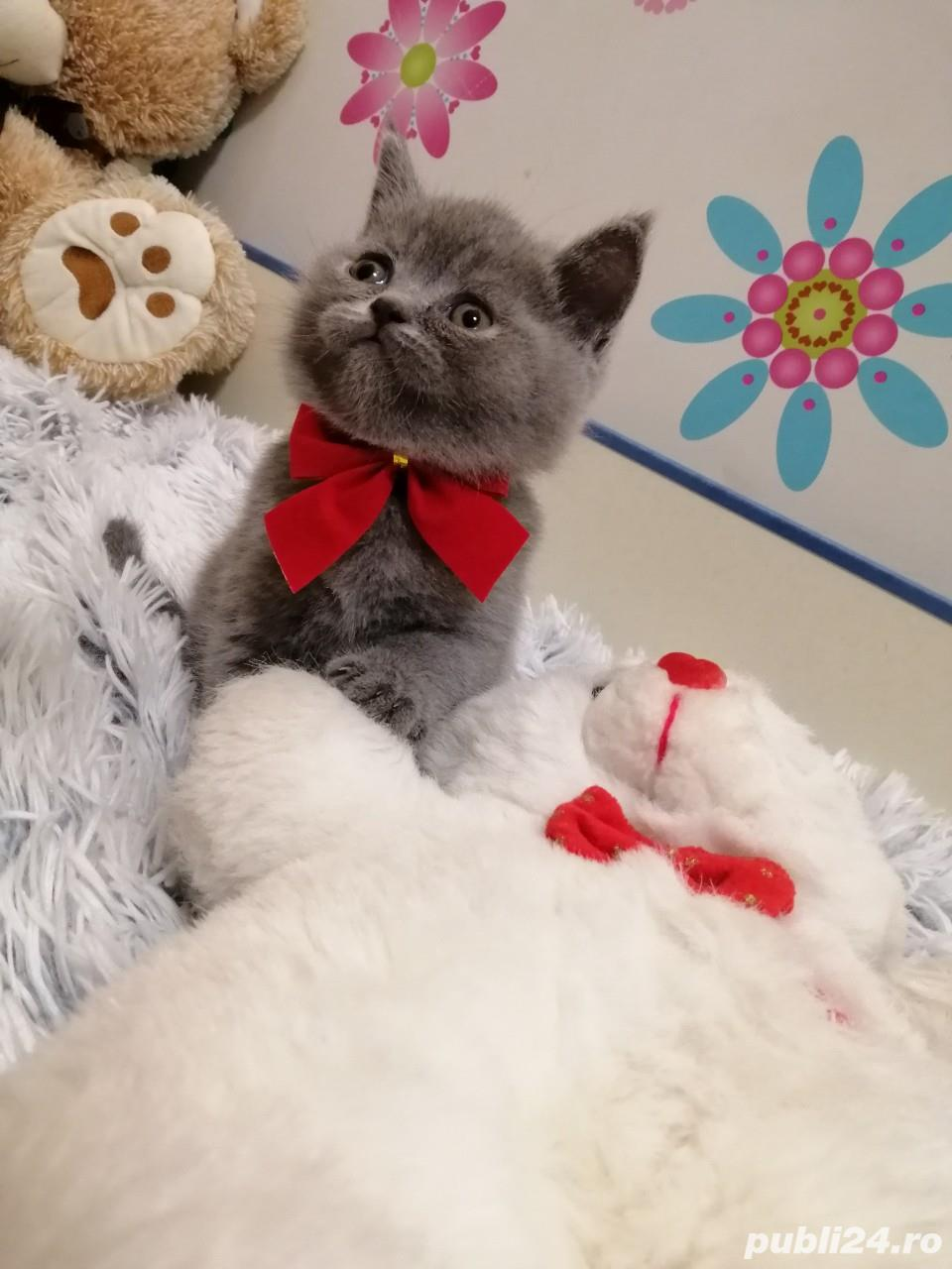 Fetite british shorthair blue!